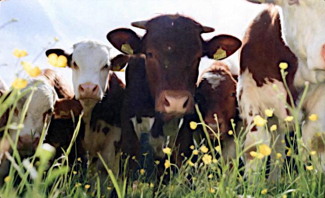 Almochsen auf der Weide